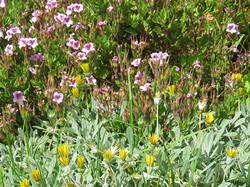 Pelargonium and Gazania