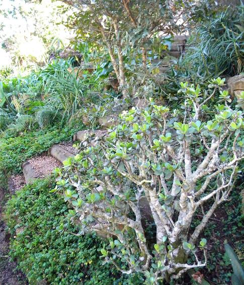 Crassula ovata bonsai style