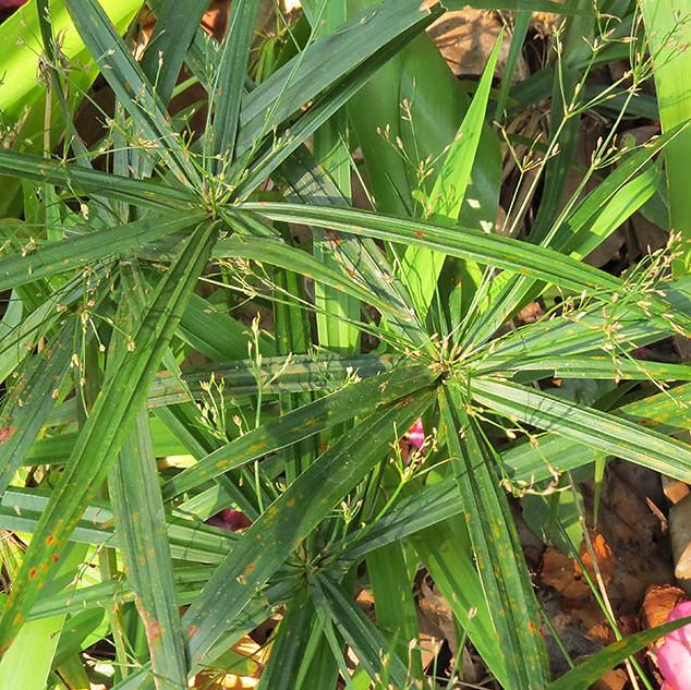 Cyperus-albostriatus