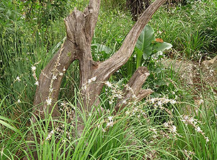 Plectrantus for a shady bower