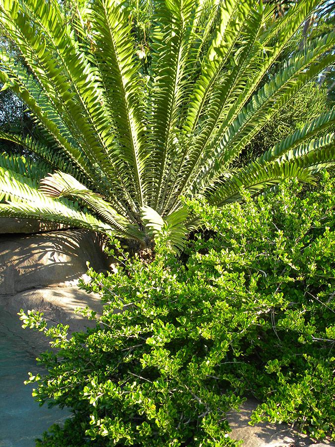Shrubs - Spiky foliage