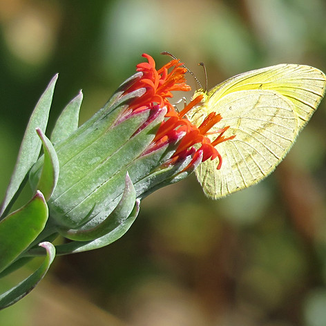 Broad-boardered Grass Yellow Male