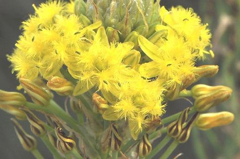Bulbine narcissifolia