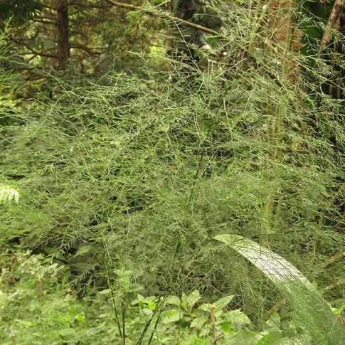 Asparagus-virgatus