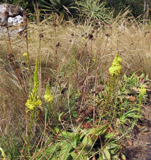 Bulbine latifolia amongst the grasses