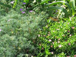 Geranium incanum and Delosperma