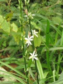 Chlorophytum bowkeri