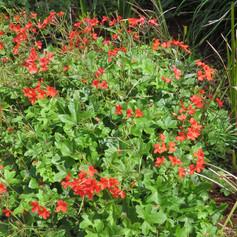 Pelargonium tongaense