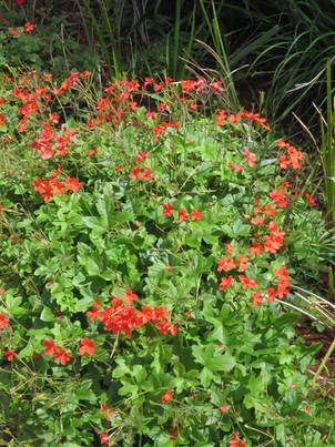 Pelargonium-tongaense