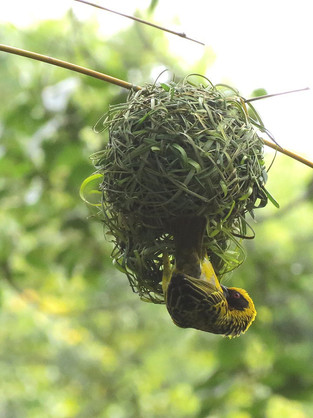 A weaver makes use of strips of grass, bamboo and palm leaves to build his nest