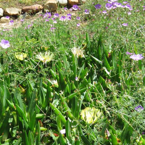 Carpobrotus edulis & Geranium incanum