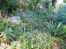 Steep Slope groundcovers