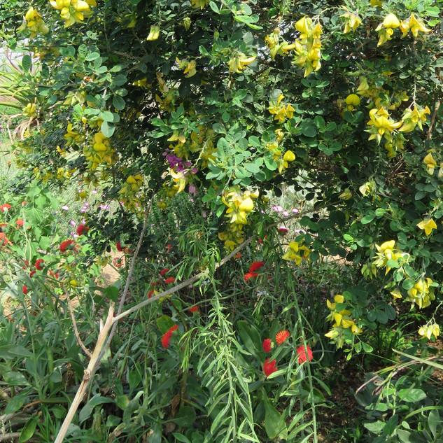 Kleinia galpinii, Crotalaria capensis & Polygala virgata