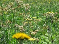 Natural Grassland Meadows