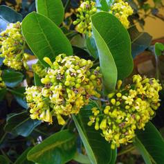 Psychotria-capensis