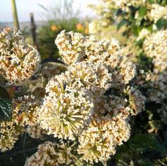 Fragrant Buddleja auriculata