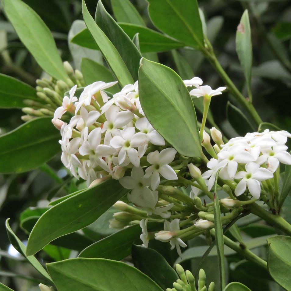 Acokanthera species