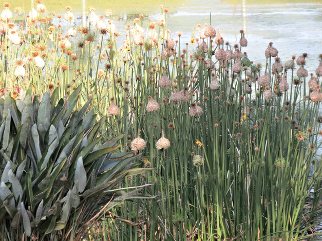 Weavers ahchor nests on strong Cyperus stems