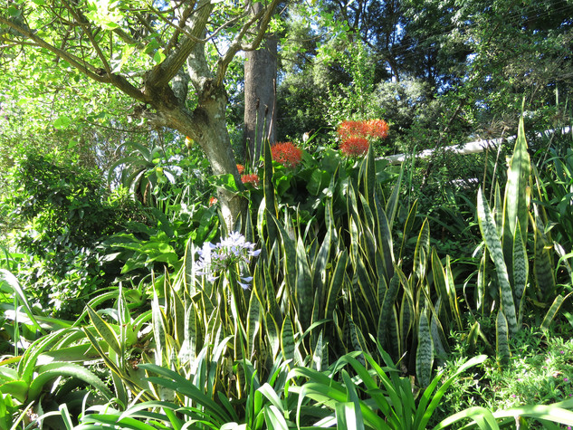 Mother-in-law's Tongue, Agapanthus, Scadoxus