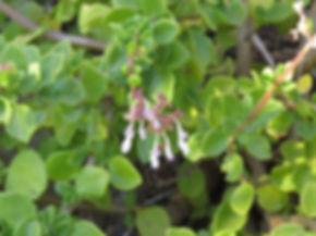 Aeollanthus parvifolius