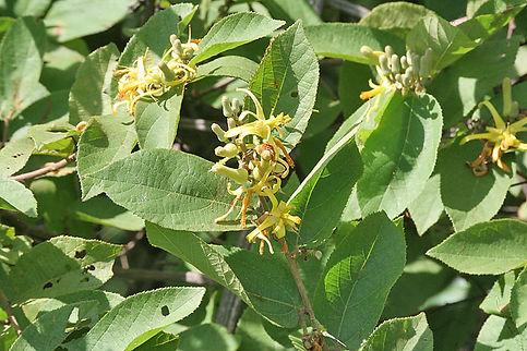Grewia flavescens
