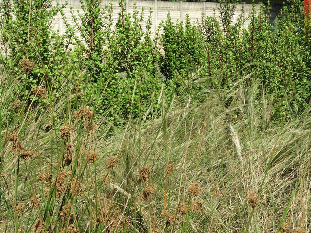 Aristida junciformis, Spekboom and Juncus