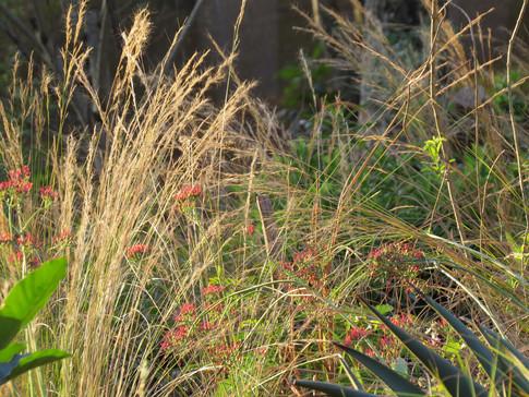 Aristida junciformis and Kalanchoe longiflora catch the autumn sunlight