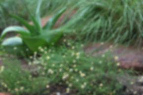 Felicia muricata subsp. muricata