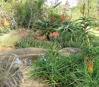 Aloes around a water feature