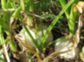 Albuca bracteata