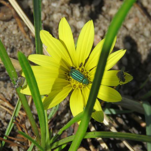 Green-beetle-on-yellow-flower