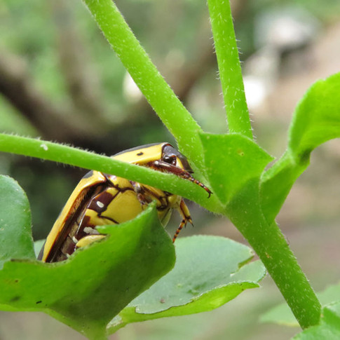 Chafer-beetle.jpg
