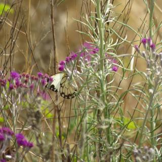 Butterfly on Hilliardiella