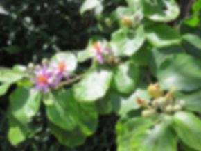 Grewia lasiocarpa
