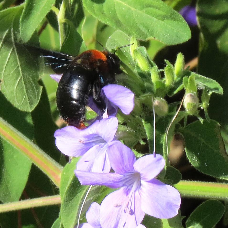 Carpenter bee on Barleria obtusa