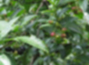 Rhamnus prinoide fruit