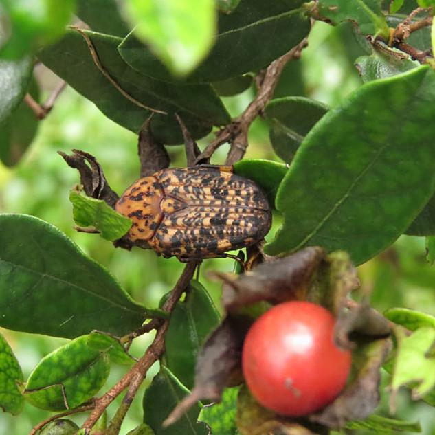 Marbled-chafer-beetle.jpg