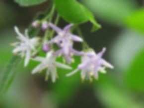 Ehretia rigida
