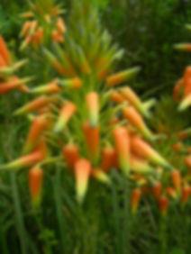 Aloe cooperi