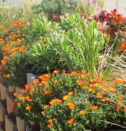 Lampranthus Fanta Orange