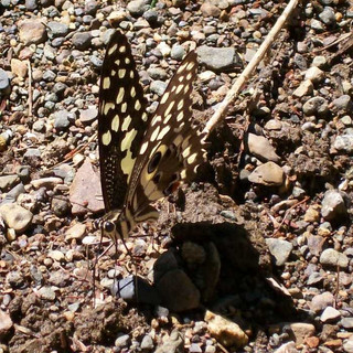 Butterflies need minerals too
