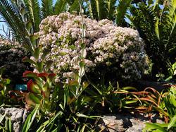 Crassula ovata and Kalanchoe thyrsif