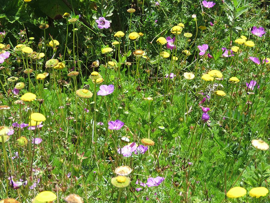 Geranium incanum and Cotula sericea