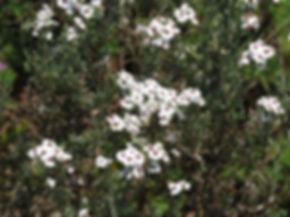 Eriocephalus africanus
