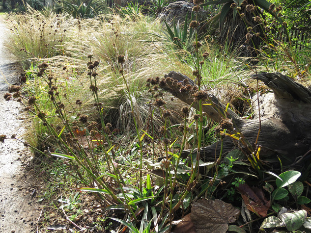 Cyanotis plants add attractive winter interest once the flowers go over