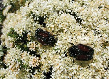 Agathosma species