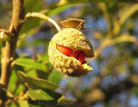 Kiggelaria africana
