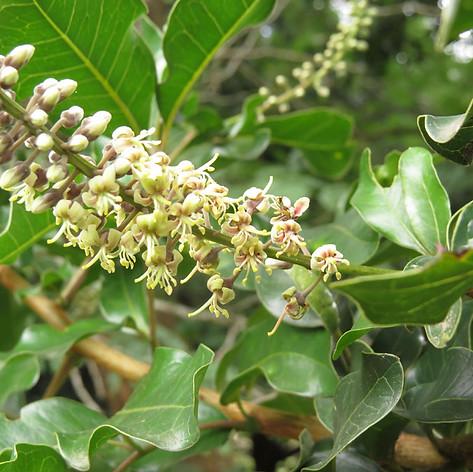 Deinbollia oblongifolia flowers