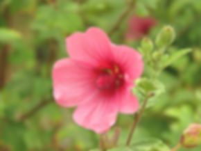 Anisodontea hybrid Classic Cerise