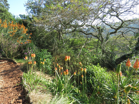 Kniphofia and aloes beneath a thinning Flatcrown canopy.